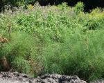 Płat skrzypu olbrzymiego (roślina chroniona) - po usunięciu niektórych gatunków roślin inwazyjnych np. rdestowca japońskiego